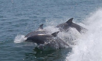 Dolphin Watching with the MERR Institute